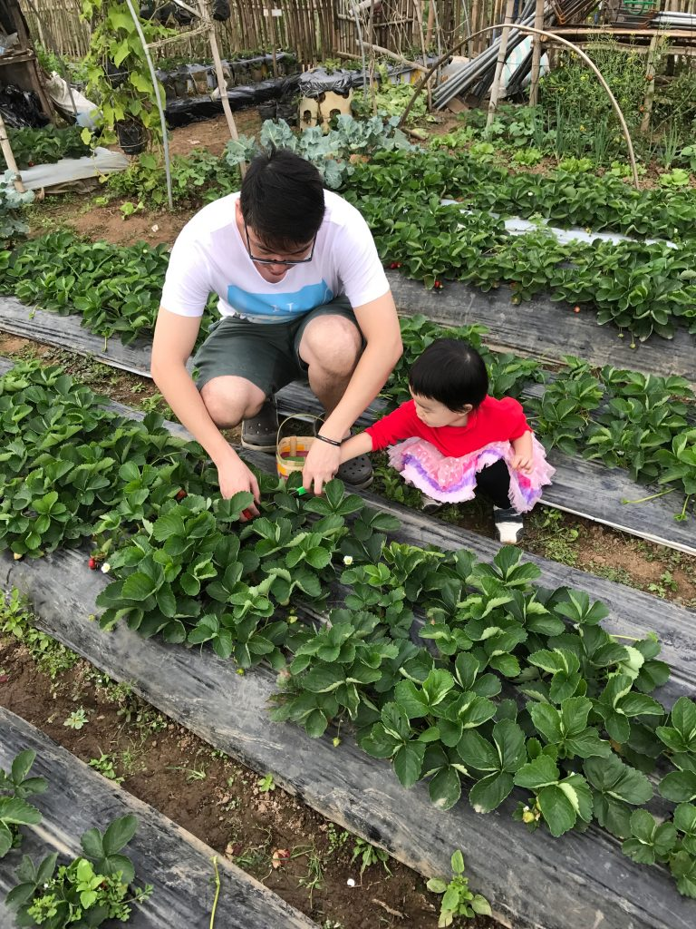 Strawberry picking in baguio 1